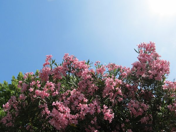 Blooming oleander on highway in Northen Italy