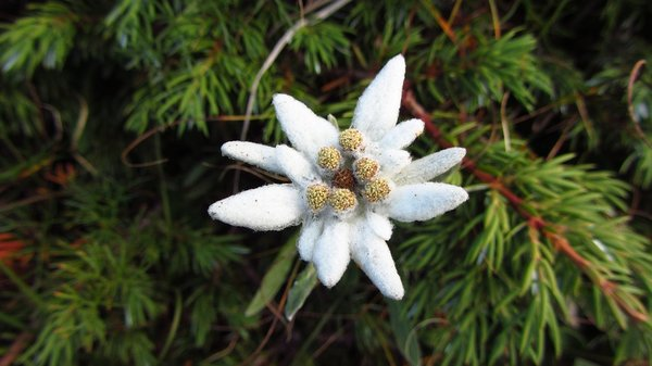Edelweiss or Stella alpina on the hike route in mountains, Northern Italy