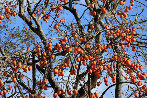The khakhi tree with fruits in November in private garden, Northen Italy