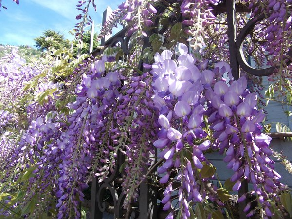 Wisteria blooming on the fance in Lenno, Como lake, Italy