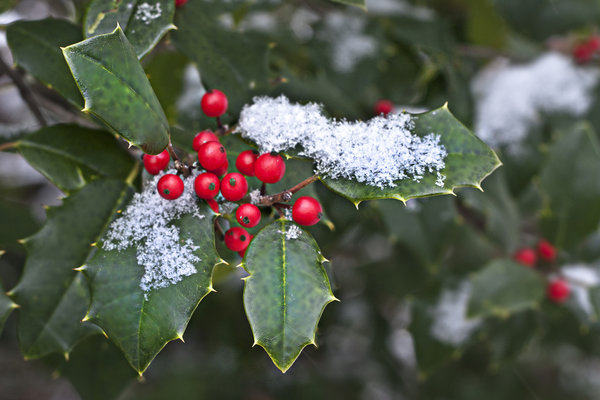 Holly berry in christmas period on the streets in Como, Italy