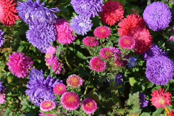 Aster flowers in private garden in Monza, Italy