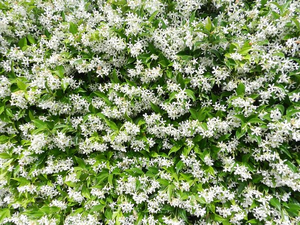 Blooming jasmine in gardens of Northern Italy