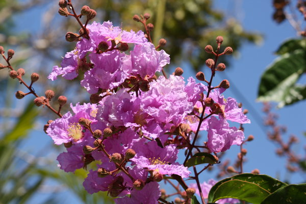 Blooming lagerstroemia on the streets of Como, Italy