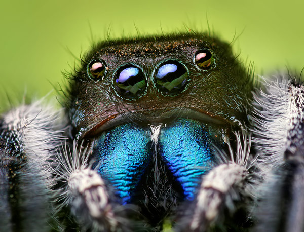 Jumping spider  Photo credit - Opoterser