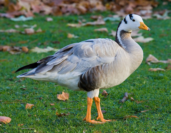 Bar-headed geese Photo Credit - Diliff