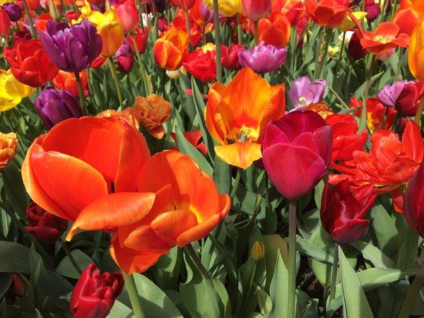 Beautiful tulips at Keukenhof